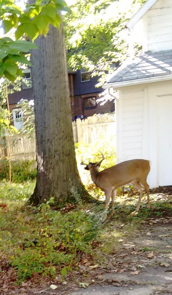 deer-pics