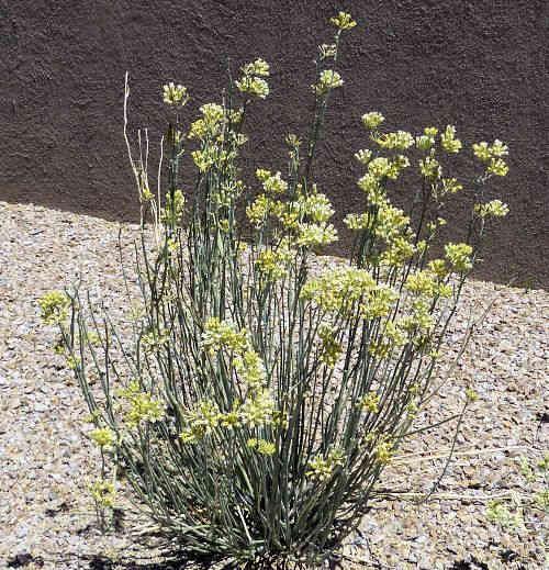 Growing Asclepias Subulata Rush Milkweed Desert Milkweed