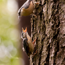 Nuthatch feeding in tree