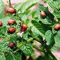 Вирусные болезни томатов и их лечение болезни помидор в