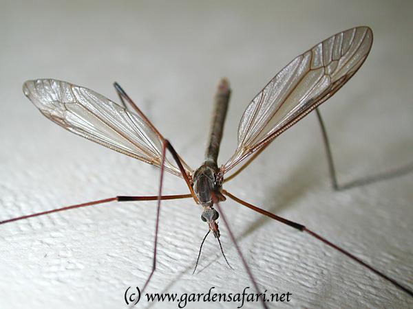 https://i1.wp.com/www.gardensafari.net/pics/vliegen/muggen/tipula_paludosa_ha0_1986.jpg