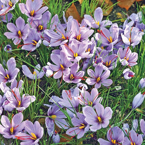 Saffron Fall Crocus | Gardens Alive