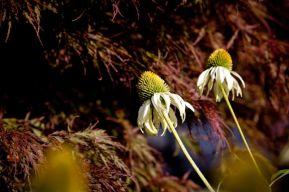 Carnation-11_web