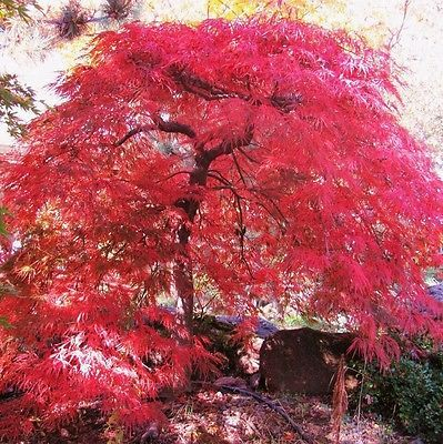 Crimson Queen Japanese Maple Acer palmatum