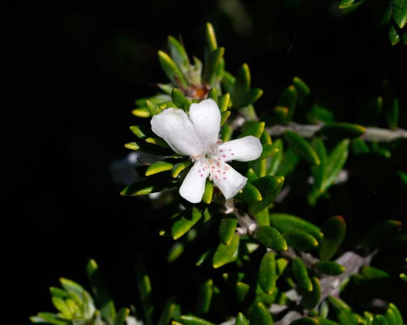 GardensOnline Westringia Fruticosa