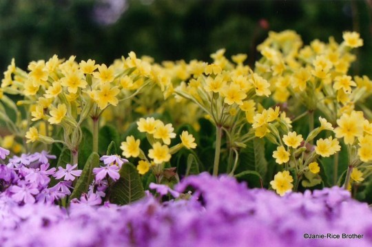 Primroses and creeping phlox.