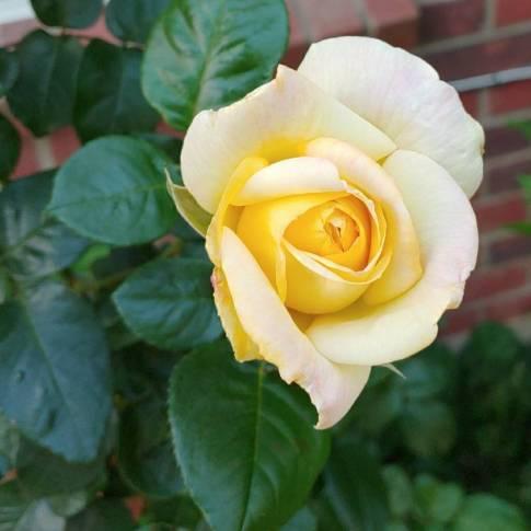 Rosa 'Madame A. Meilland' syn. Rosa 'Peace', Rosa 'Gloria Dei ...