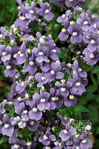 RSH9519- NEMESIA HONEY BLUE EYE : Asset Details -Garden ...