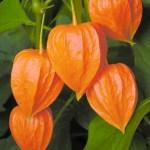 Caring For Chinese Lantern Plants Physalis Alkekengi