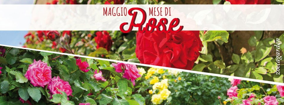 maggio rose