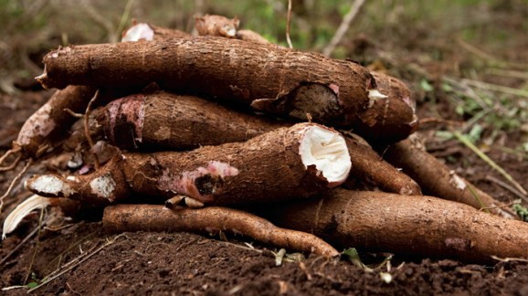 Asante-Akim Central to establish cassava processing factory