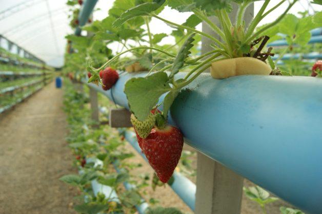 Plantação dos morangos hidropônicos e organicos