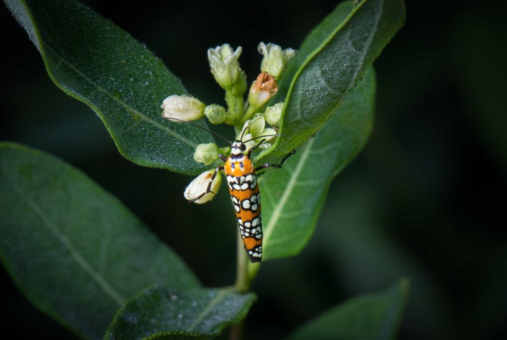 Orange, white and black Webworm moth on a milkweed flower