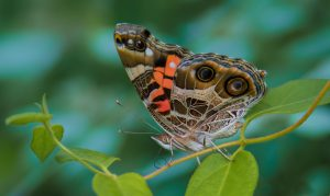 Close up of American Painted Lady butterfly.