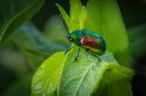 Irridecent green and red Dogbane beetle.