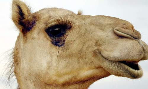 camel lashes with Bimatoprost