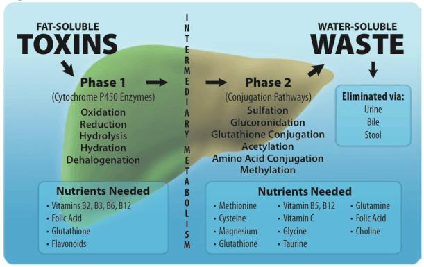 Mechanisms of liver detoxification