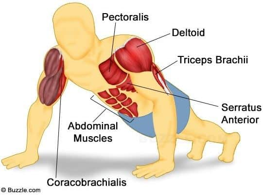Primary muscles used for push-ups