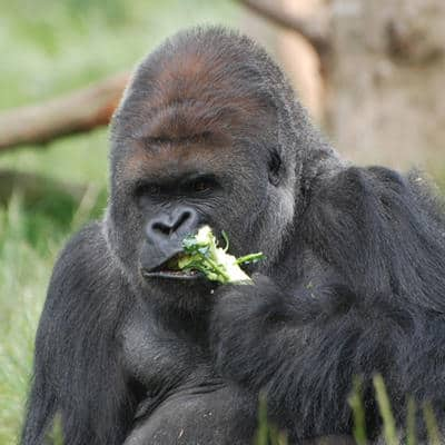the scientifically proven best diet is what gorrillas eat