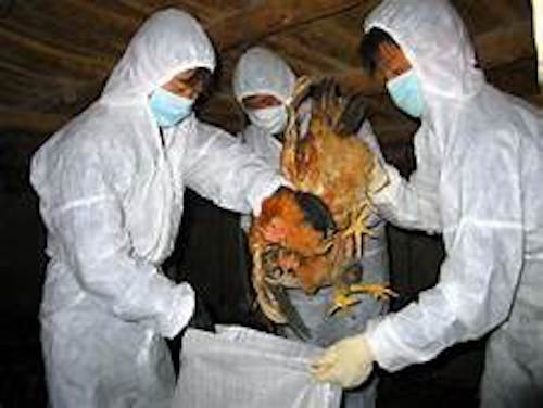 avian flu - influenza