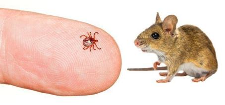 lyme tick mouse