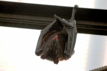 Bats removal