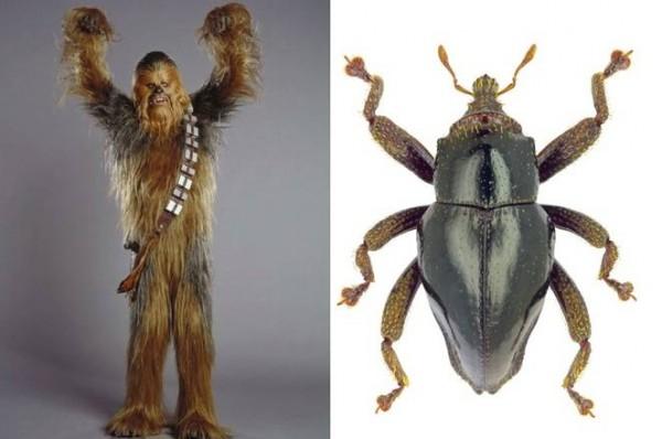 chewbacca-beetle