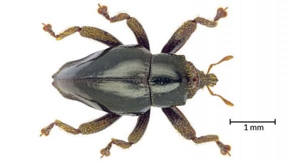 chewbacca-beetle1