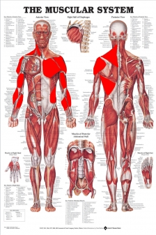 The-Muscular-System-bobo