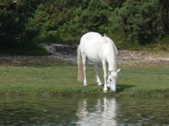 Horse at pond