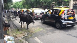 Cows on the streets of Mumbai.