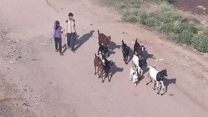 Taking the goats for a walk.