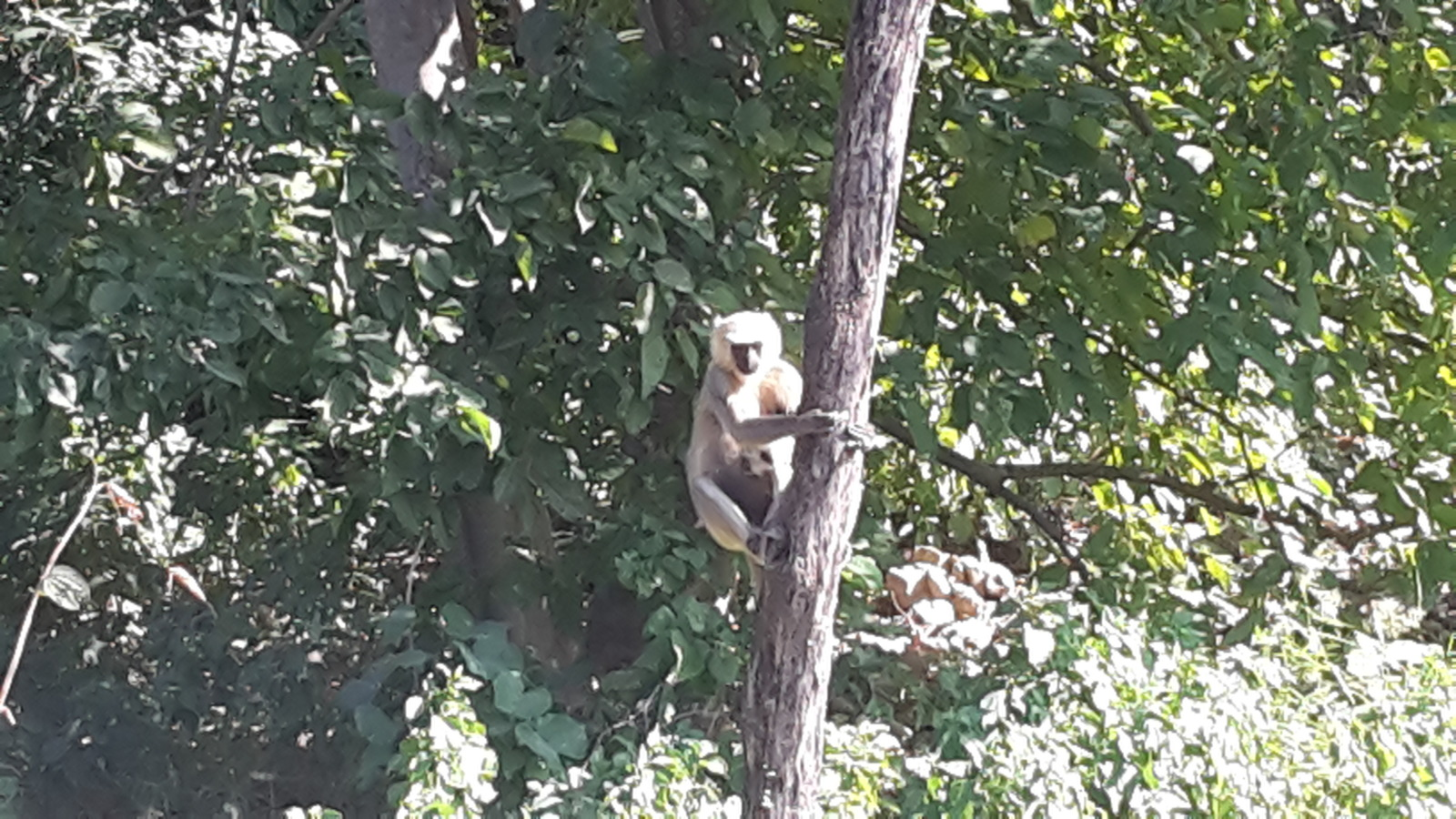 A monkey in the Sukla Phanta wildlife reserve.