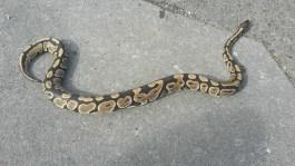 Bull Python
