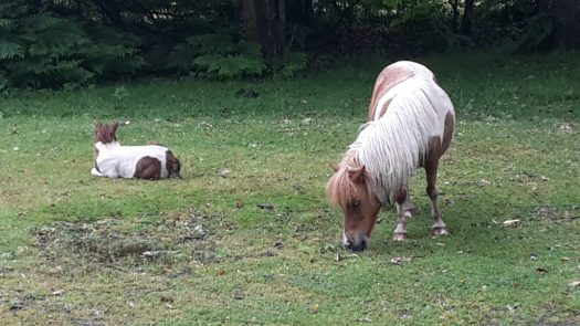 New Forest pony with its foal