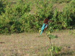 Kingfisher along the road