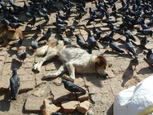 The dogs don't take any notice of the pigeons