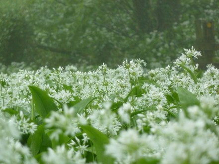Wild garlic on the Isle of Wight