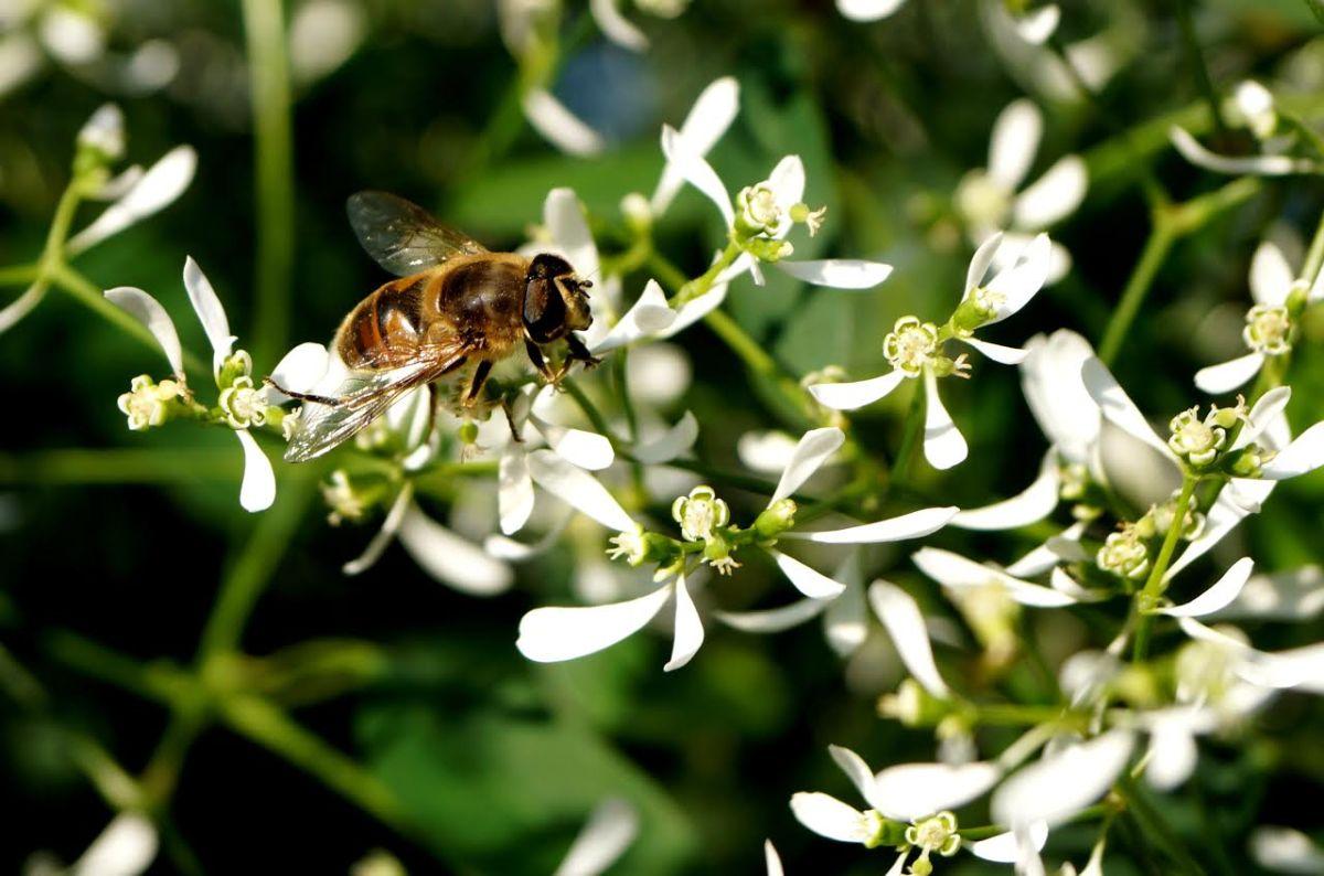 Bienenschleierkraut - OÖ Gärtner