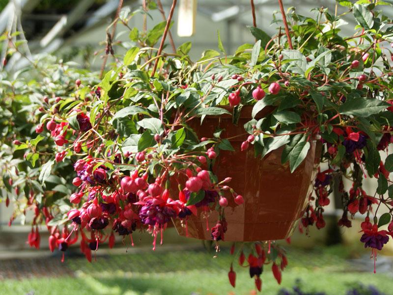 Blumenampel mit Fuchsien