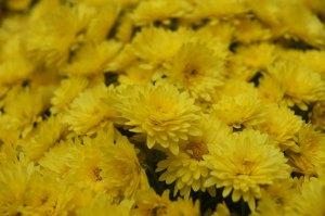 Chrysanthemen Allerheiligen