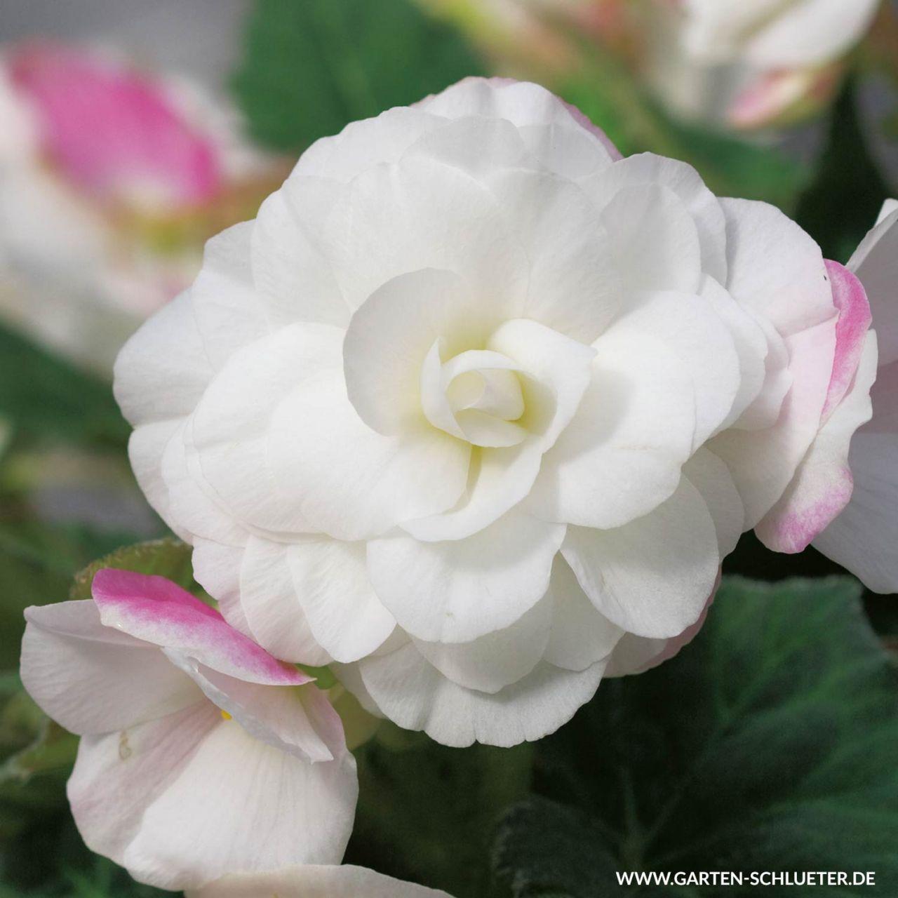 Wummi-Begonie 'Apfelblüte' - 3 Stück
