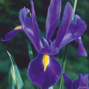 Iris hollandica 'Blue' - 25 Stück