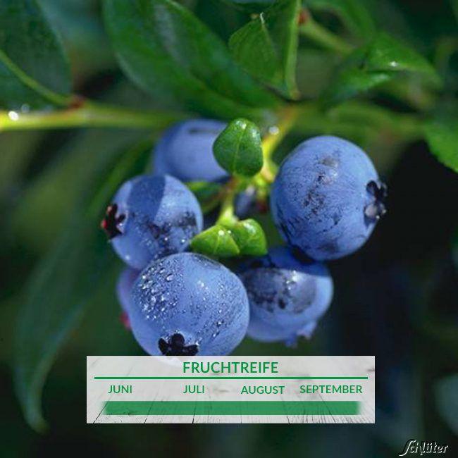 Heidelbeere 'Hortblue Petite®' - die Zweimal Fruchtende Zierheidelbeere