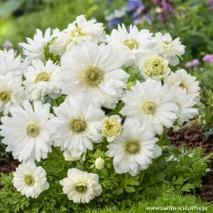 St. Brigid-Anemone 'Mount Everest' - 15 Stück