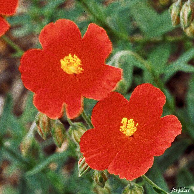 Sonnenröschen 'Rot' - 3 Stück