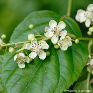 Befruchter-Kiwi 'Blütenwolke Romeo'