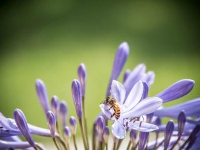 Carnica-Biene von rent-a-bee (2014)
