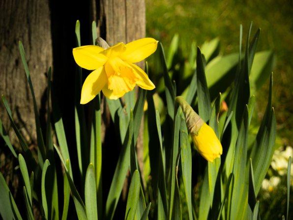 Narzissen-Märzenbecher blühen 03-2020