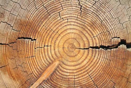 Schöne Holzstruktur von einem Laubbaum (Lärche)